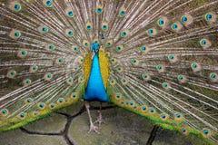 在充分的羽毛的孔雀在泰国 免版税库存图片