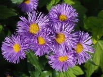 在充分的花的紫色新英格兰翠菊 免版税库存图片