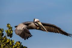 在充分的飞行的美国棕色鹈鹕 免版税库存照片