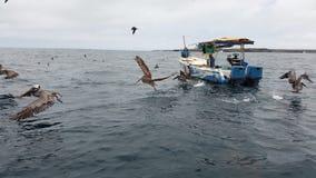 在充分的飞行的鹈鹕在加拉帕戈斯 免版税库存照片