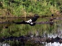 在充分的飞行的鹊鹅 库存图片