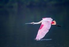 在充分的饲养的玫瑰华饰篦鹭上色飞行 库存图片