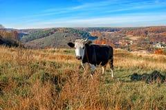 在充分的高度的一头有角的黑白母牛在秋天沼地吃草并且凝视在coun背景的照相机  免版税库存图片