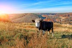 在充分的高度的一头有角的黑白母牛在秋天沼地吃草并且凝视在coun背景的照相机  库存图片