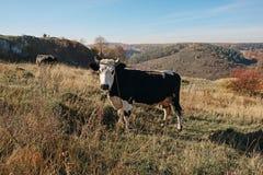 在充分的高度的一头有角的黑白母牛在秋天沼地吃草并且凝视在coun背景的照相机  免版税图库摄影