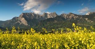 在充分的黄色绽放的油菜籽领域与后边一个巨大山风景 库存照片