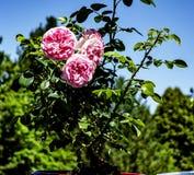 在充分的blossem的玫瑰 免版税库存照片