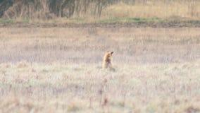 在充分的HD的美丽的野生狐狸 股票视频