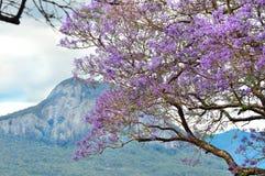 在充分盛开的澳大利亚兰花楹属植物树紫色花 库存图片