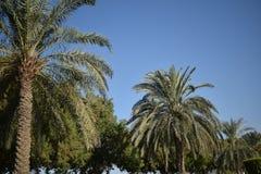 在充分看秀丽的阿拉伯联合酋长国约会树 库存照片
