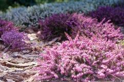 在充分领域的美好的紫色石南花盖子的春天阳光 软性被聚焦的自然季节性背景 免版税库存图片