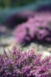 在充分领域的美好的紫色石南花盖子的春天阳光 软性被聚焦的自然季节性背景 免版税图库摄影