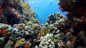 在充满活力的珊瑚礁和潜水者的五颜六色的鱼 红海 埃及 股票录像