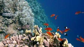 在充满活力的珊瑚礁和潜水者的五颜六色的鱼 红海 埃及 影视素材
