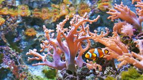 在充满活力的珊瑚礁的五颜六色的鱼 股票录像