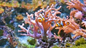 在充满活力的珊瑚礁的五颜六色的鱼 影视素材