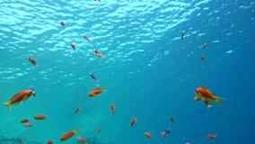 在充满活力的珊瑚礁,红海的五颜六色的鱼 股票视频