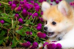 在充满活力的紫罗兰色花的行动戏剧捉住的愉快的小狗 库存照片