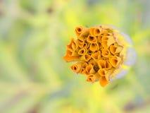 在充满活力黄色的被隔绝的万寿菊芽和橙色 库存照片