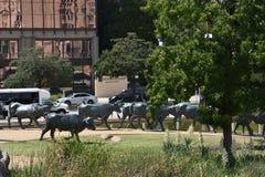 在先驱广场的牛推进雕塑在达拉斯,得克萨斯 免版税图库摄影
