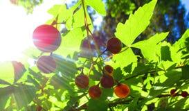在光束的莓果 免版税库存照片