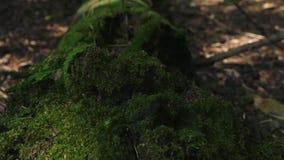 在光滑的行动的电影录影与生长在mos外面的一棵偏僻的树 股票录像