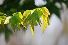 在光的有裂片的叶子在分支 图库摄影