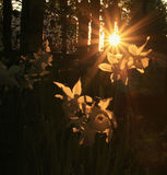 在光的黄水仙下 免版税库存图片