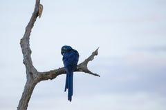 在光秃的分支栖息的愉快和狂放的风信花金刚鹦鹉 免版税库存照片
