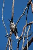 在光秃的分支栖息的新的荷兰honeyeater 免版税库存照片