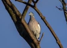 在光秃的分支的斑尾林鸽 库存图片