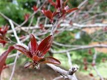在光秃的分支的新鲜的发芽的红色叶子 图库摄影