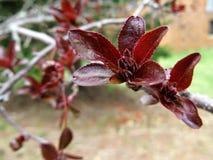 在光秃的分支的新鲜的发芽的红色叶子 库存照片