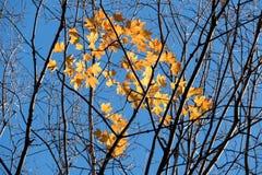 在光秃的分支的黄色秋叶反对蓝天 库存照片