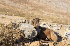 在光秃的平原,目光接触,在她的脖子的大金属响铃,在背景的汽车击毁的希腊克里特岛山羊 库存图片