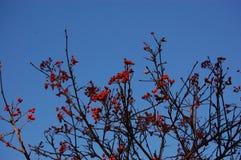 在光秃的枝杈的红色果子 库存照片