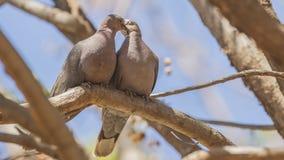 在光秃的树枝的红眼睛的鸠夫妇 库存图片