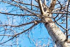 在光秃的核桃树的前枚坚果在秋天 图库摄影