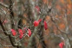 在光秃的樱桃树的少量保持的红色叶子 库存图片