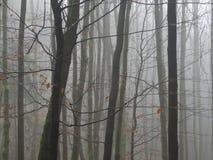 在光秃雨的下落以后的有薄雾的11月神奇山毛榉树森林 免版税库存图片