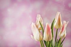 在光blured背景的五白色郁金香 免版税库存图片