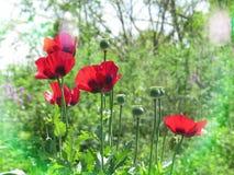 在光Bokeh的狂放的红色鸦片花在一个绿色草甸 免版税图库摄影