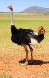 在克伦南部非洲的干旱台地高原,南非的驼鸟 库存图片
