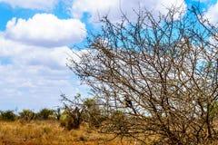 在克留格尔国家公园染黄掩藏在灌木的开帐单的犀鸟 图库摄影