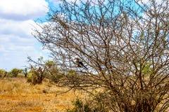 在克留格尔国家公园染黄掩藏在灌木的开帐单的犀鸟 免版税库存图片