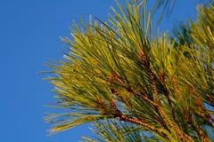 在克罗地亚山的新鲜的绿色杉木针在夏天期间。 库存照片