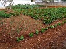 在克罗地亚海岛奥利布岛上的一个菜园 图库摄影