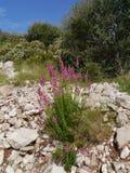 在克罗地亚海岛拉斯托沃岛上的开花的野花 库存图片