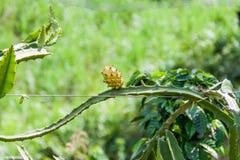 在克罗姆生长的黄色Pitaya 库存图片