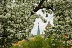 在克里姆林宫附近的梨开花 图库摄影